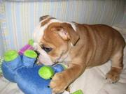 AKC English Bulldogs 8 weeks old
